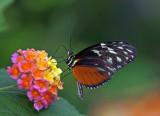 Tiger Longwing on lantana