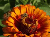 Two bee's and sunburst