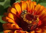 Bee on sunburst