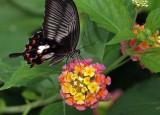Great Mormon Swallowtail on lantana