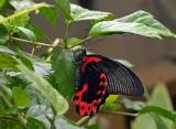 Papilio memnon in the shower