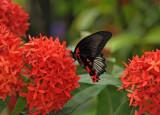 Papilio memnon (Great Mormon)