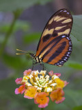 Tiger Wing on lantana