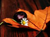 Tender autumn love affair between a young chestnut and an old daisy...
