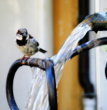 Sparrow in the Shower 3
