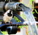 Sparrow in the Shower 2