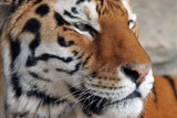 SIBERIAN TIGER CLOSE-UP (NOT WHERE YOU WOULD WANT TO BE)