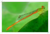 Orange-tailed Sprite