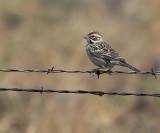 lark_sparrow