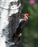 Red-naped Sapsucker (Sphyrapicus nuchalis)male