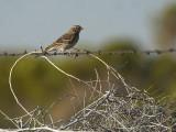 vesper_sparrow