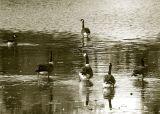 Geese Walk on Water