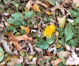 Dandelion of Autumn