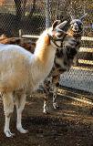 Llama Bros