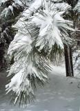 Scotch Pine w Bunny Tracks