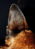 A Shiny Ear