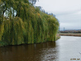 Willow Along the Oude IJssel River