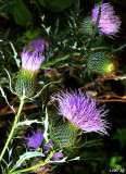 Thistle of Last Summer