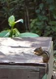 Chipmunk's Summer Appearance