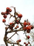 February Crab Apples