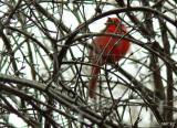 The Elusive Scarlet Pimpernel