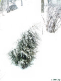 Buffeted Spruce