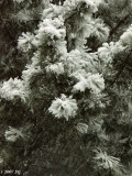 Peonies of Winter