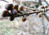 Buds in March