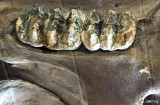 Mighty Molars of the Mastodon