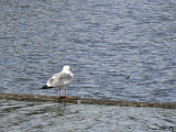 Gullthink: To Fly...or Not to Fly?