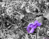 First Pansy of the Year