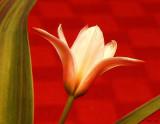 Tulip Head Shot