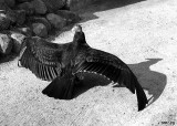 Vulture Sunning in Black and White