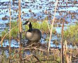 Goose in Stubble
