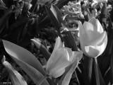Satin in Black and White