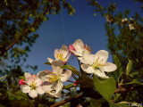 Crab Apple with Con Trail