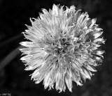 Silver Chive Blossom