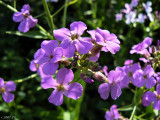 Lavender Starburst