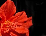 Red Hibiscus in Sunlight