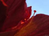Hibiscus Feeler