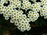 Spiraea Blooms