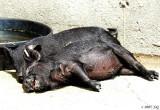 Happy as Piggies in Sunshine