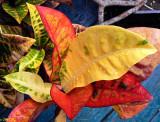 Raindrops on Crotons