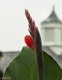 Canna with Steeple