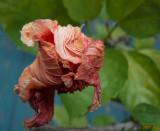 Autumn Hibiscus