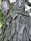 Heavy Armor: Black Locust Bark