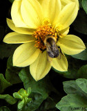 Bumble Bee in a Rush
