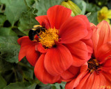 Busy Bumble Bee Whiles Away the Hours