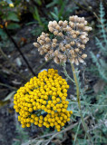Nature's Time Release Golden Rod