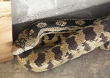 Gopher snake that came to visit and stayed awhile...